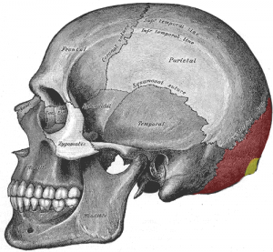 Occipital Bone (red and yellow regions)