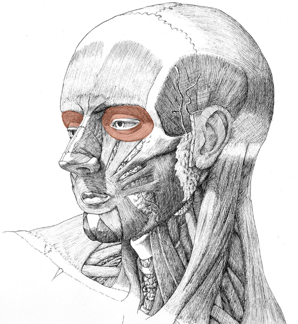 Orbicularis occuli, drawing by Daniel Maidman
