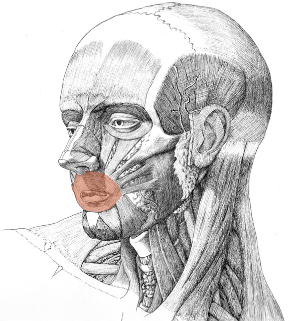 Orbicularis oris, drawing by Daniel Maidman