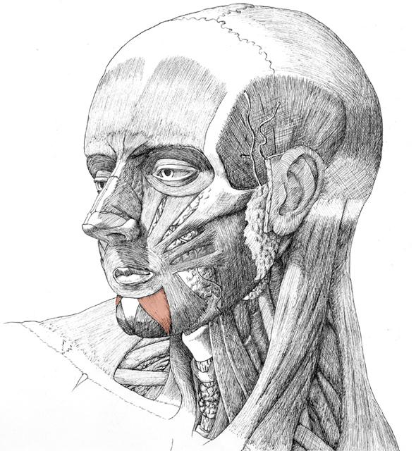 Depressor Labii Inferioris, drawing by Daniel Maidman