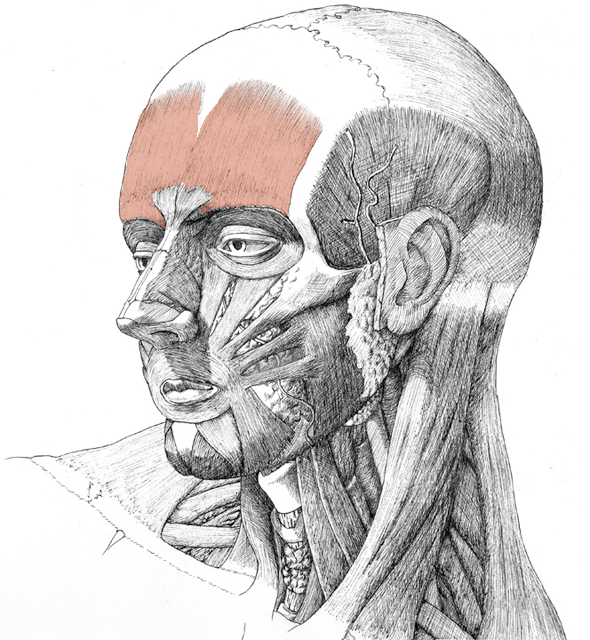 Frontalis, drawing by Danial Maidman