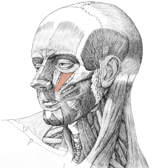 Lenator Labii Spuerioris, drawing by Danial Maidman