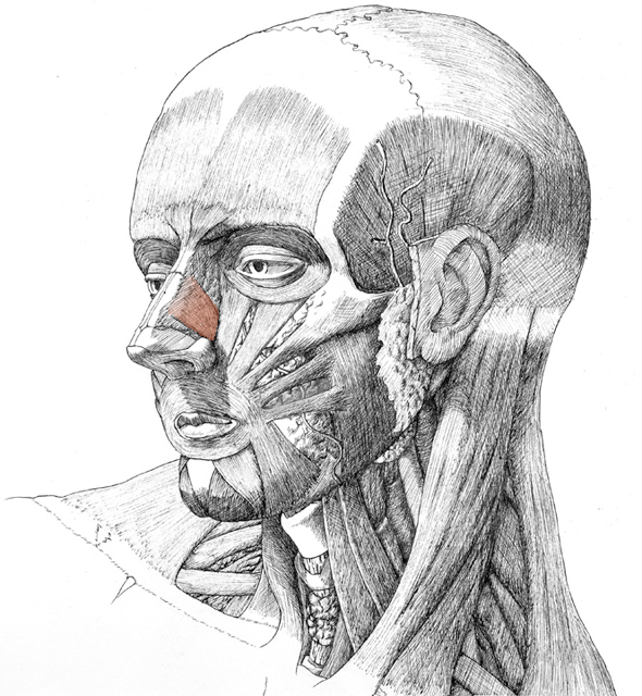 Nasalis, drawing by Danial Maidman