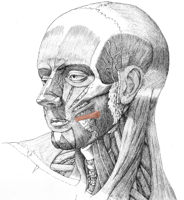 Risorius, drawing by Daniel Maidman