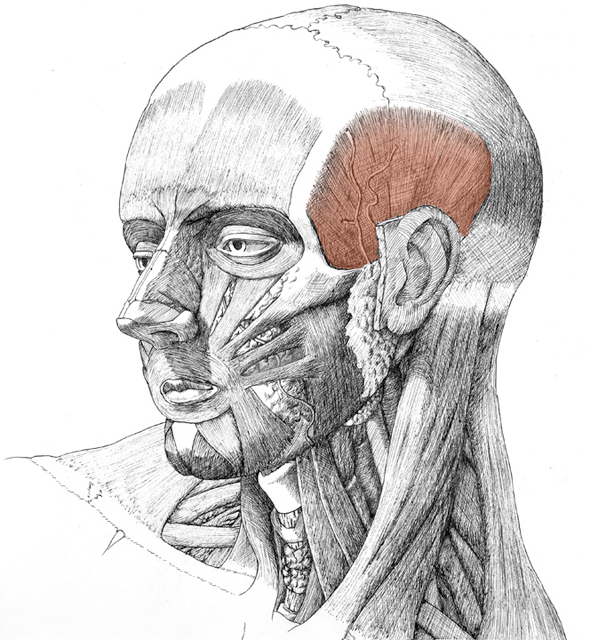 Temporalis, drawing by Daniel Maidman