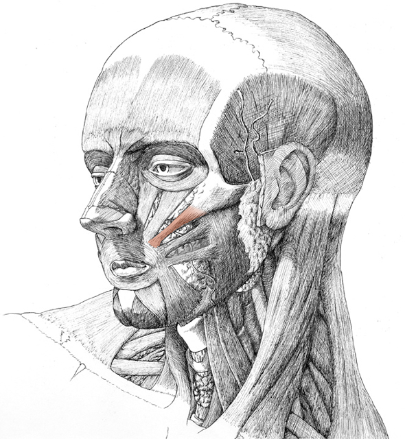 Zygomaticus, drawing by Daniel Maidman
