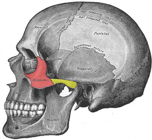 ygomatic Bone or Malar (red area)
