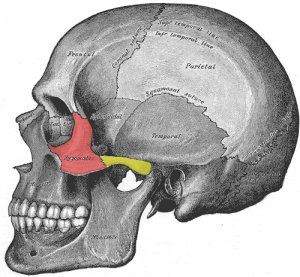 Zygomatic Arch (yellow area)