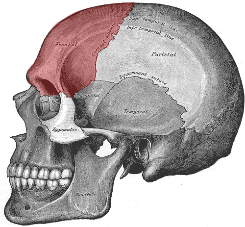 Frontal Bone Forensic Sculpture Lessons