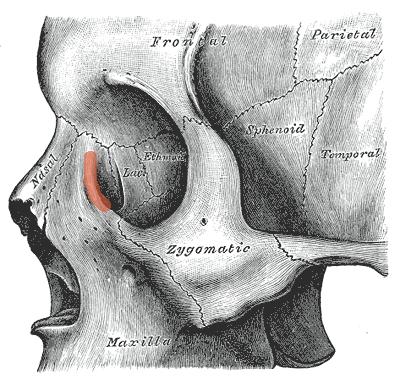 Lacrimal crest