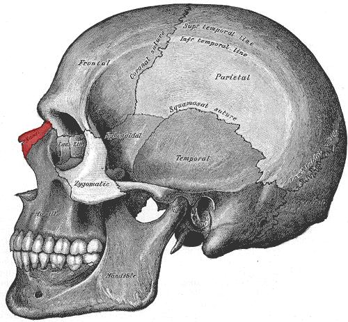 Nasal Bone | Forensic Sculpture Lessons